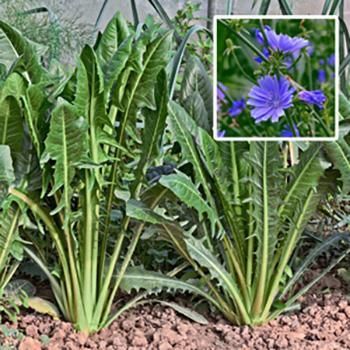 Grow Chicory