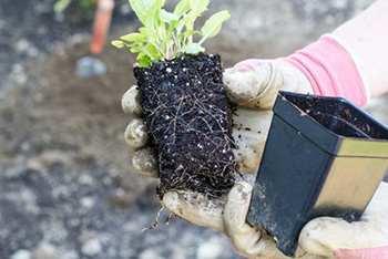 Grow Echinacea 1