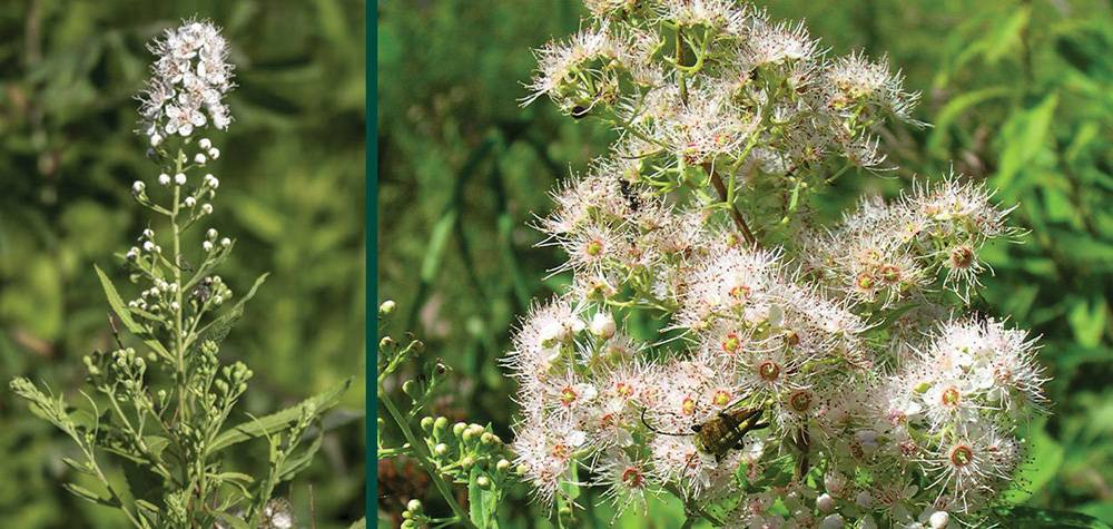 Grow Meadowsweet