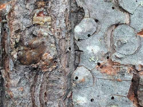 How to Make Pine Resin Salve - 1