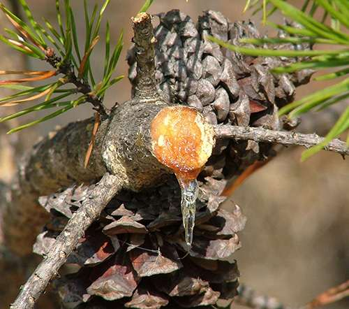 How to Make Pine Resin Salve - Harvest Sap Branch