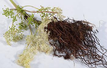 Meadowsweet - Root