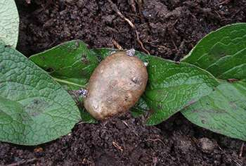 10 Things You Didnt Know About Comfrey -8. Potato Comfrey