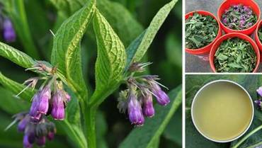 10 Things You Didn't Know About Comfrey