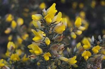 20 Edible and Medicinal Plants you can forage in March - Gorse