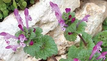 20 Edible and Medicinal Plants you can forage in March - Henbit