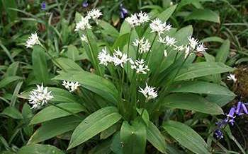 20 Edible and Medicinal Plants you can forage in March - Wild Garlic