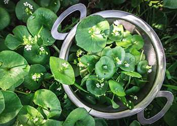 20 Edible and Medicinal Plants you can forage in March - Wild Lettuce