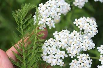 20 Edible and Medicinal Plants you can forage in March - Yarrow