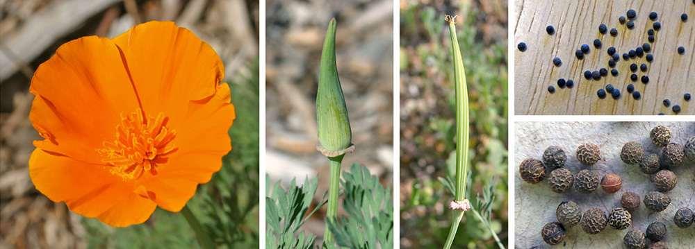 Californian Poppy seeds