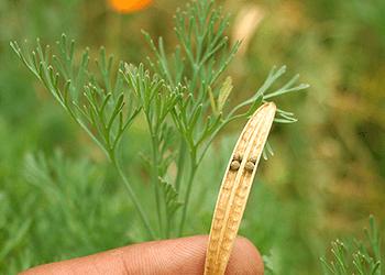 -California Seeds- Harvest Seeds