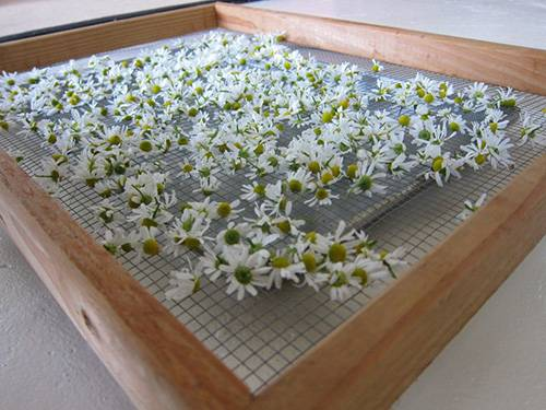 Chamomile AirDry