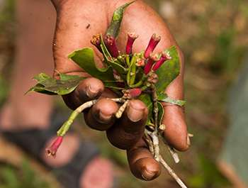What Happens if You Take 2 Cloves Every Day - What Are Cloves