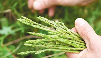 20 Edible and Medicinal Plants you can forage in March - Wild Asparagus