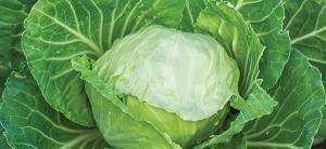Cabbage - Cover