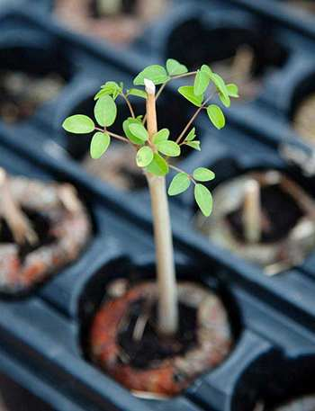 Grow Moringa 2