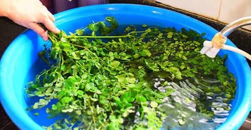 How to make moringa powder 2