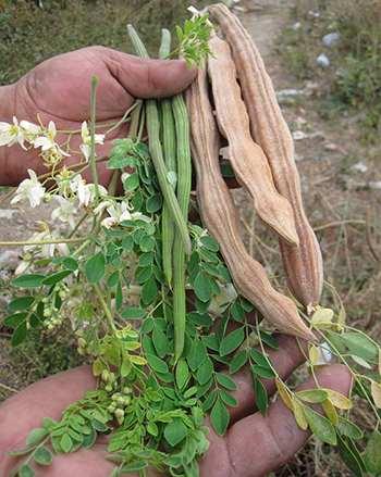 Moringa - Fruit, flower