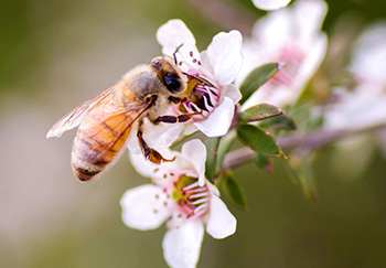When and How To Use Manuka Honey - What is it