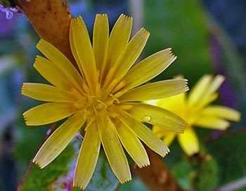 Wild Lettuce flower