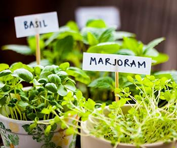 16 Medicinal Herbs You Should Grow Side by Side - Basil and Marjoram