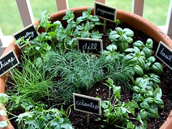 16 Medicinal Herbs You Should Grow Side by Side - Dill