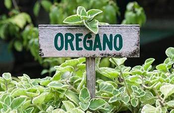 16 Medicinal Herbs You Should Grow Side by Side - Oregano