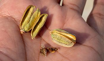 Aloe Vera - Seed