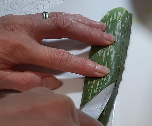 Aloe Vera - Trim off spines
