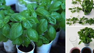 Basil: How To Grow More Than You Can Eat
