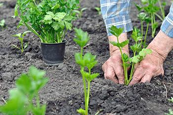 Grow Celery 1