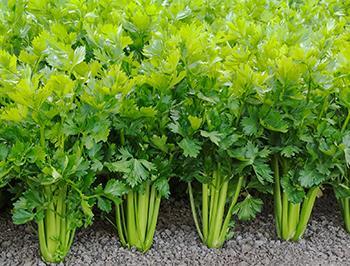 Grow Celery 2