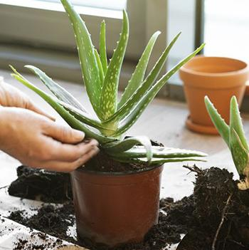 Growing Aloe