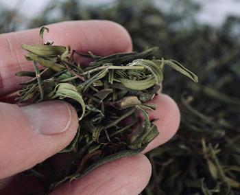 Healing Herbs You Can Smoke - Hyssop