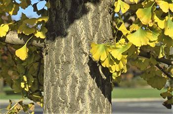 How to Identify Ginkgo Biloba Tree Does it grow on your street - Bark
