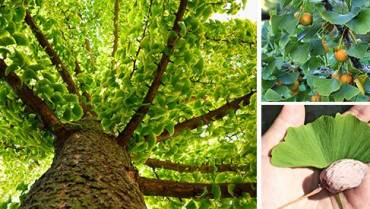 How to Identify the Ginkgo Biloba Tree: Does It Grow on Your Street?