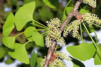 How to Identify Ginkgo Biloba Tree Does it grow on your street - Flower