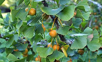 How to Identify Ginkgo Biloba Tree Does it grow on your street - Fruits