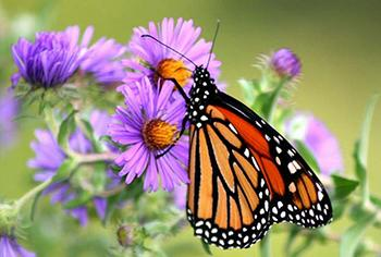 The Best Flowers to Attract Beneficial Insects to Your Garden - Aster