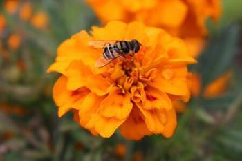 The Best Flowers to Attract Beneficial Insects to Your Garden - Signet Marigold