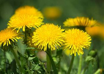 10 Herbs That Kill Viruses and Clear Lungs - Dandelion