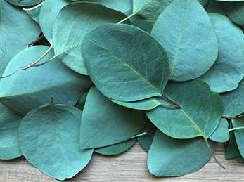 10 Herbs That Kill Viruses and Clear Lungs - Eucalyptus