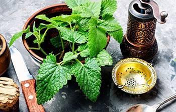 10 Herbs That Kill Viruses and Clear Lungs - Lemon Balm