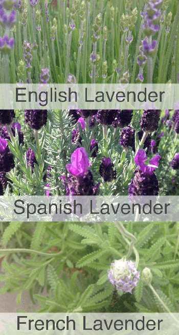 French vs Spanish vs English Lavender