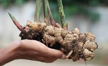 Harvest Ginger