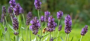 Lavender - Cover