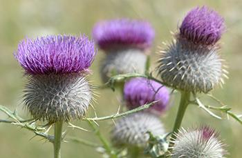 25 Medicinal Plants You Can Forage Right Now - Burdock