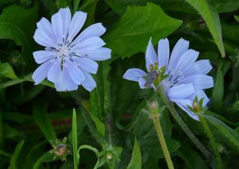 25 Medicinal Plants You Can Forage Right Now - Chicory