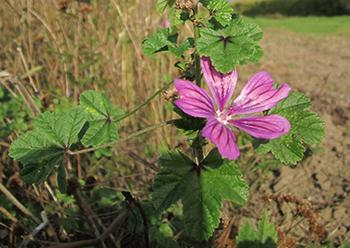 25 Medicinal Plants You Can Forage Right Now - Common Mallow