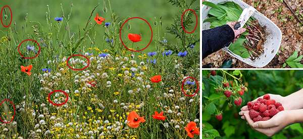25 Medicinal Plants You Can Forage Right Now
